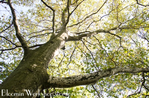 tree-brooklyn-botanical